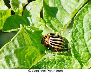 ten-lined potato beetle in potatoes leaves in garden