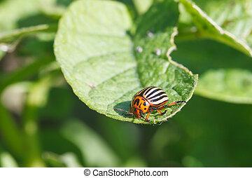 ten-lined potato beetle eats potatoes leaves in garden