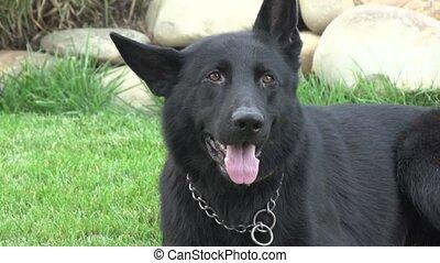 Black German Shepherd - German shepherd sitting on the lawn