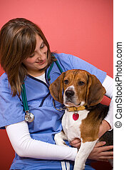 Vet Checkup - A veterinarian checking out a beagle dog.