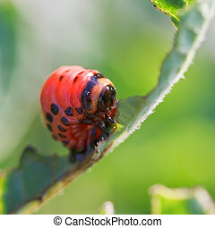 caterpillar of potato beetle eats potatoes - caterpillar of...