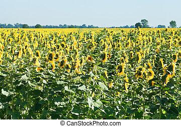 sunflower field in Caucasus