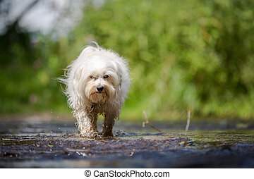 Dog goes through the water - A small white dog running...