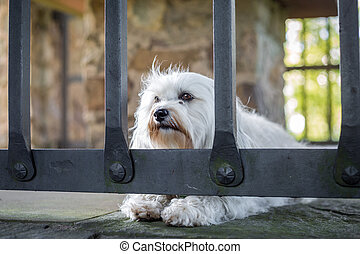 Imprisoned - A small white dog lies behind a grating on the...