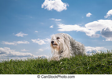 Havanese in the meadow - Small white Havanese is located in...