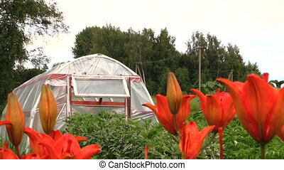 lily flower garden - Dark orange lily flowers and greenhouse...