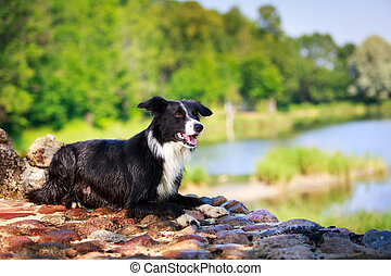 dog - Border Collie dog