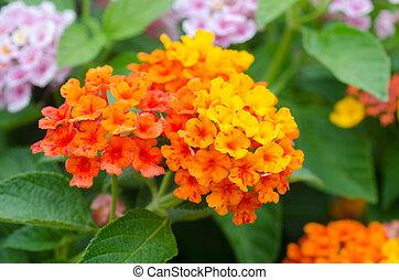 lantana, flores