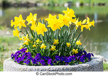 Daffodils and pansies - Arrangement of yellow daffodil and...