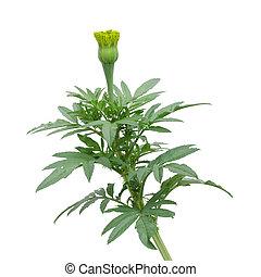 Marigold  bud isolated on white background