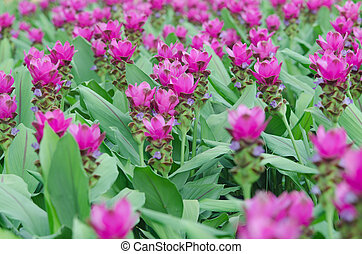 Siam Tulip  - Siam Tulip