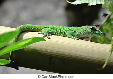 Green lizard in the garden - Photo shows a green lizard in...