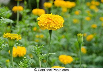 Marigolds (Tagetes erecta)