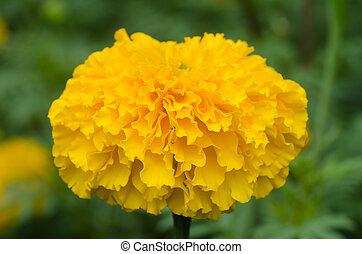 Marigolds Tagetes erecta