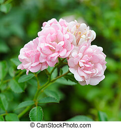 Beautiful of pink fairy rose with green background