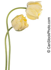tulip - Studio Shot of Yellow Colored Tulip Flowers Isolated...