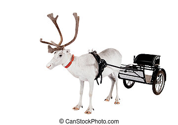 Reindeer or caribou wearing europian harness - Reindeer...