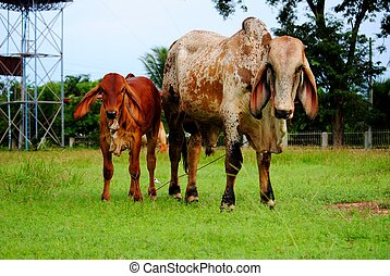Animals - The cow animal in Thailand, it's a Mammalia.