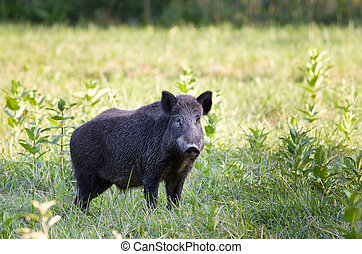 Wild boar (sus) - Wild boar (sus scrofa ferus) standing on...