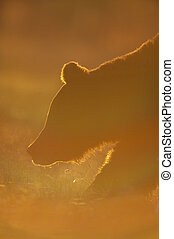 Brown bear in backlight - Brown bear in a evening backlight.