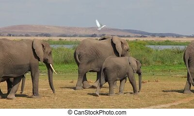 Masai Mara National Reserve, Kenya - Large herd of African...