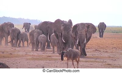 Herd of elephants - Large herd of African elephants walking...