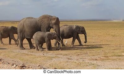 Herd of elephants at the watering - Large herd of African...