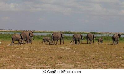 Elephants - Large herd of African elephants walking on the...