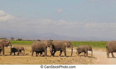 Big Herd Of Elephants Walking Towar - Large herd of African...
