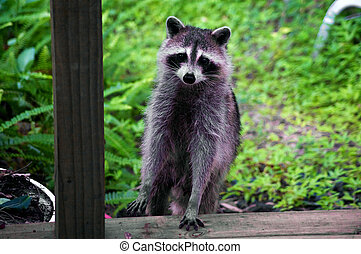 curious raccoon standing on stair - A curious raccoon is...