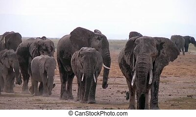 Elephants In A Line In The Plains - Herd of elephants at the...