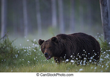 A big bear on the mire - A big male bear on the mire in...