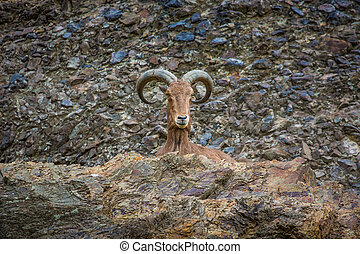 West caucasian tur goat