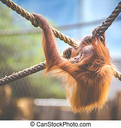 Stare of an orangutan baby, hanging on thick rope. A little...