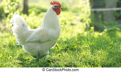 White rooster on the green grass
