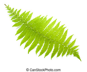 Green fern leaf. Isolated on white background