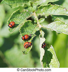 several larva of colorado potato beetle eat potatoes in...