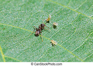 ant grazing few aphids on leaf of walnut