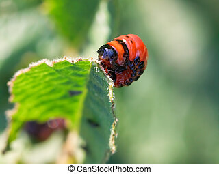 larva of colorado potato beetle eats potatoes leaves close...