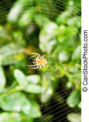 spider on cobweb over buxus leaves in summer day