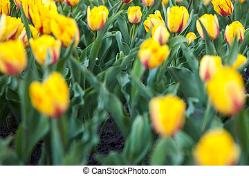 Flowerbed with lots of blooming yellow tulips