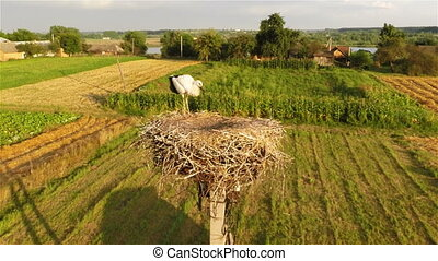 Young stork in nest