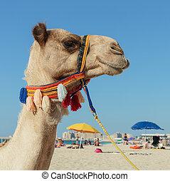 Camel on the beach in Dubai Marina
