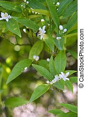 Orange tree flowers pollinated by bee - Orange tree flowers...