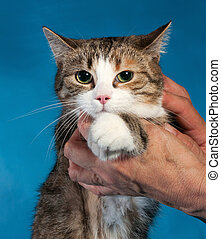 Tricolor cat with hugs her human hand on blue background
