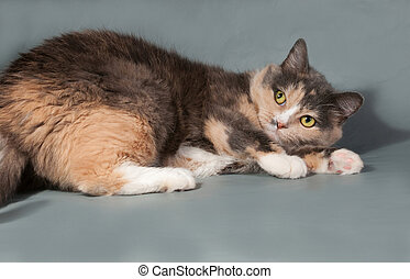 Tricolor cat with yellow eyes lying on gray