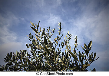 Autumn olive tree leaves - Italy, Lazio, ManzianaRome,...