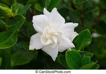 común, Gardenia, o, capa, jazmín
