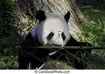 Panda Sniffing Bambo