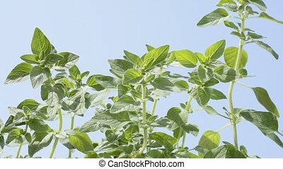 Oregano plants - Bright green oregano plants under blue sky